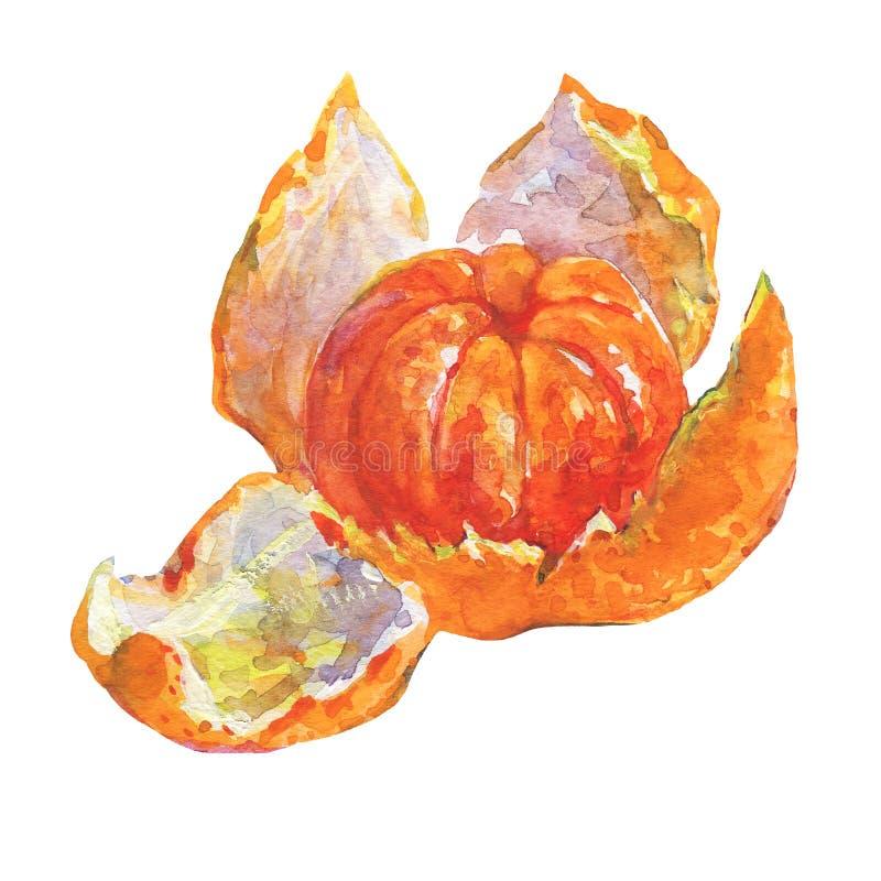 Mandarine orange mûre d'aquarelle illustration stock