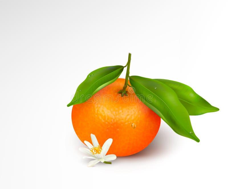 mandarine m u00fbre avec des feuilles sur un fond blanc eau illustration stock
