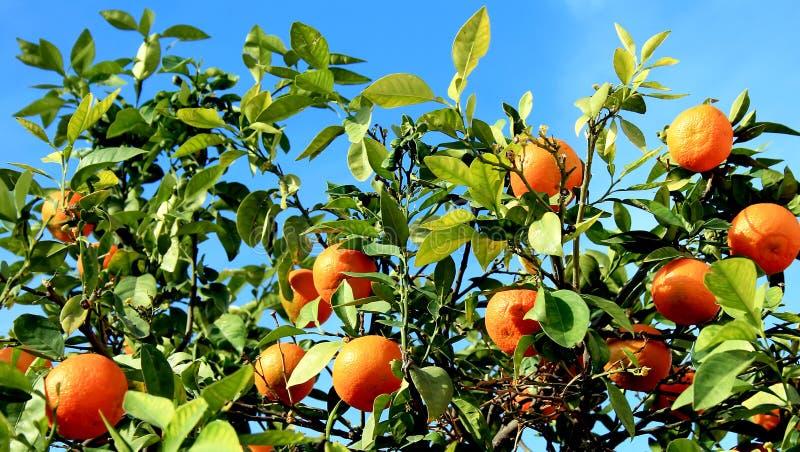 Mandarinen auf dem Baum stockfotos