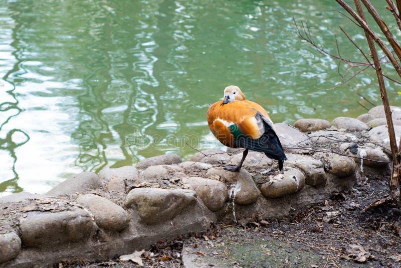 Mandarinen-Ente steht auf dem Ufer des Sees stockfotografie