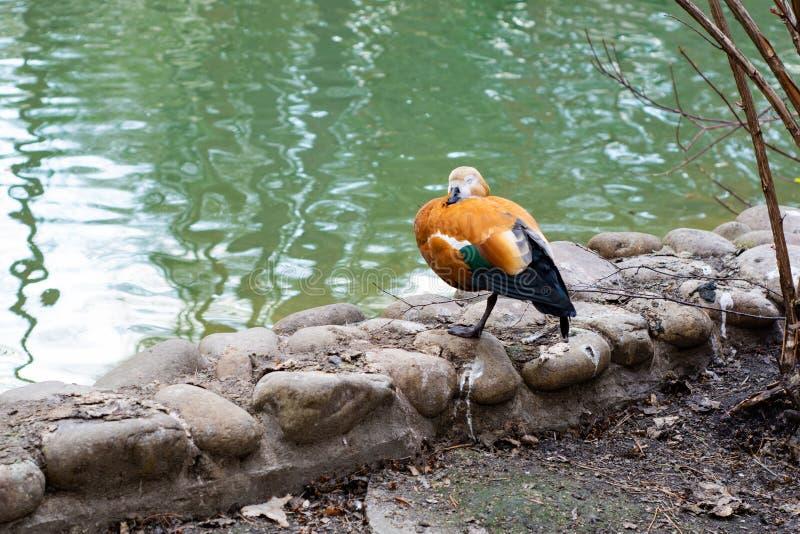 Mandarinen-Ente steht auf dem Ufer des Sees lizenzfreie stockfotos