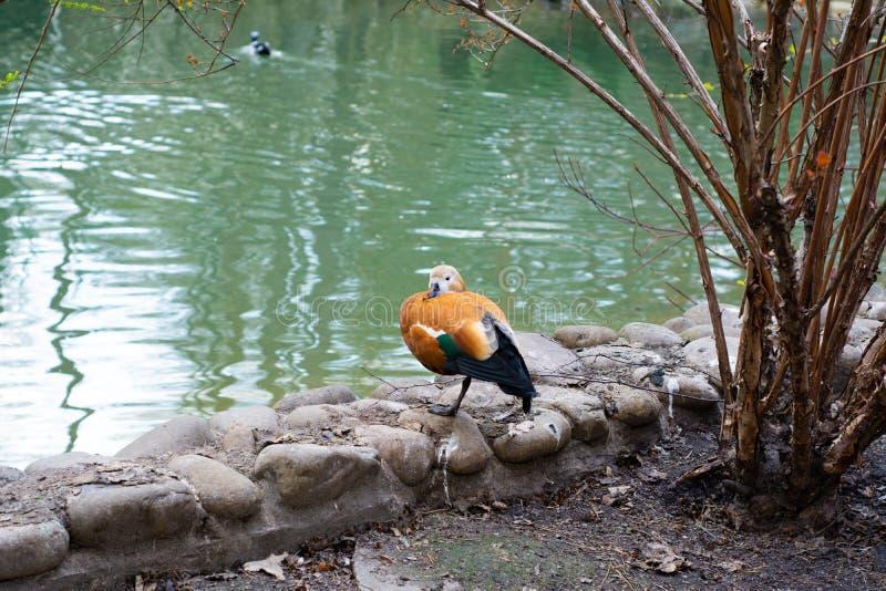 Mandarinen-Ente steht auf dem Ufer des Sees lizenzfreie stockfotografie