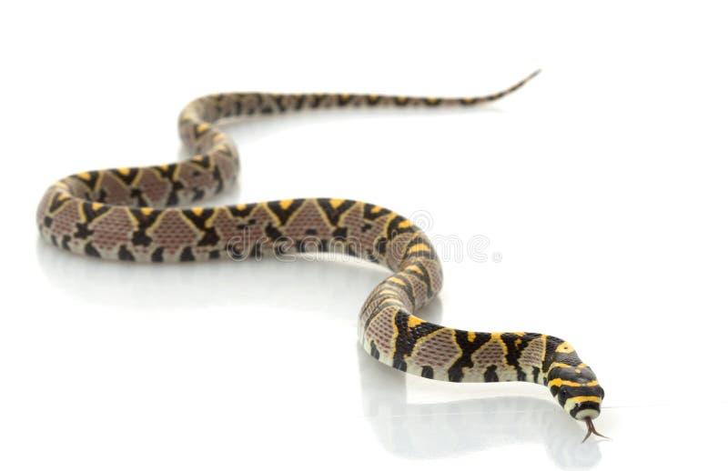 mandarinen tjaller ormen royaltyfria foton