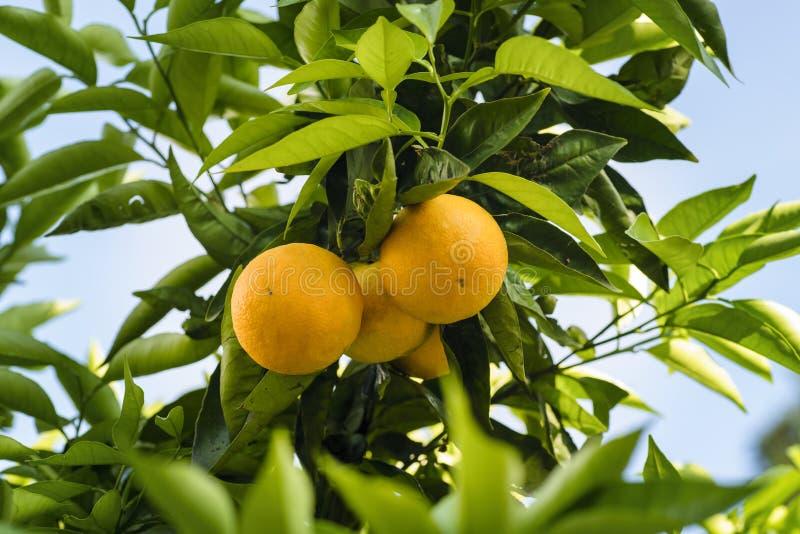 Mandarinenfrüchte auf einem Baum Hohe Abbildung der Auflösung 3D getrennt auf Weiß Frische Orange auf Anlage stockfotos