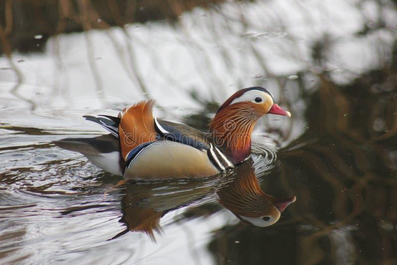 Mandarinenvögel, die frei im Waldteil schwimmen lizenzfreie stockfotos