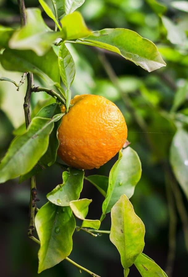 Mandarines fraîches sur une branche dans le jardin botanique de Merano photos stock