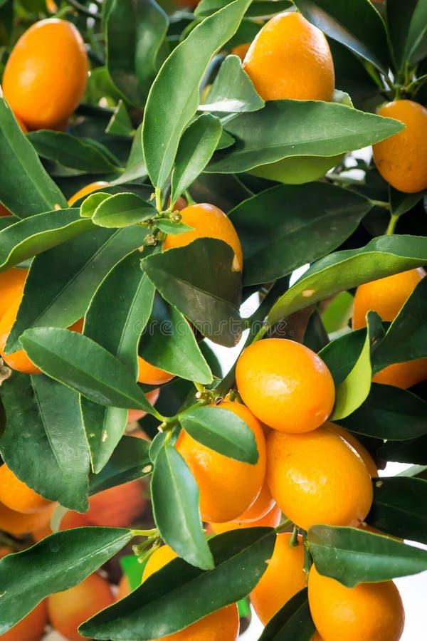 Mandarines juteuses fraîches avec les feuilles vertes sur un arbre de mandarine Fond des mandarines avec les feuilles vertes photo stock