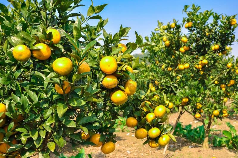 Mandarines lumineuses et mûres sur des branches dans un jardin photographie stock libre de droits