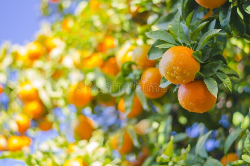 Mandarines mûres sur un branchement d'arbre Ciel bleu sur le fond Fond de citron image stock