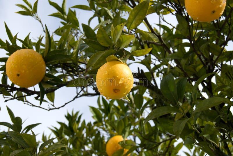 Mandarines mûres sur une branche d'arbre photo stock