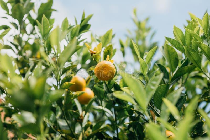 Mandarines sur un branchement Temps de moisson Nourriture délicieuse et saine photographie stock libre de droits