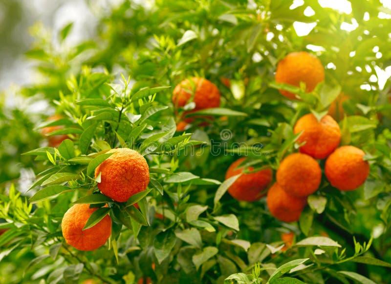 Mandarines sur une branche d'arbre photo libre de droits