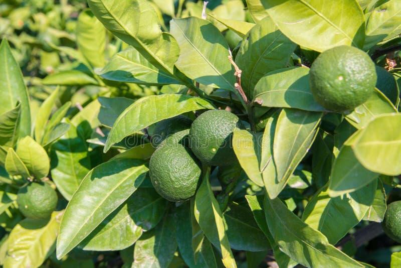 Mandarines vertes sur un arbre images libres de droits