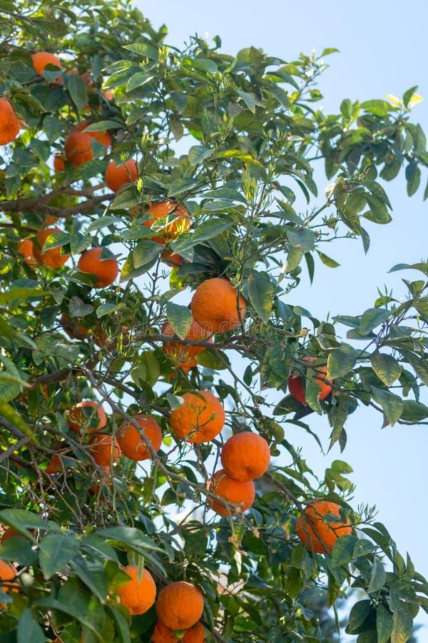 Mandarineträd med många mogna apelsinfrukter som är klara att skörda royaltyfri bild