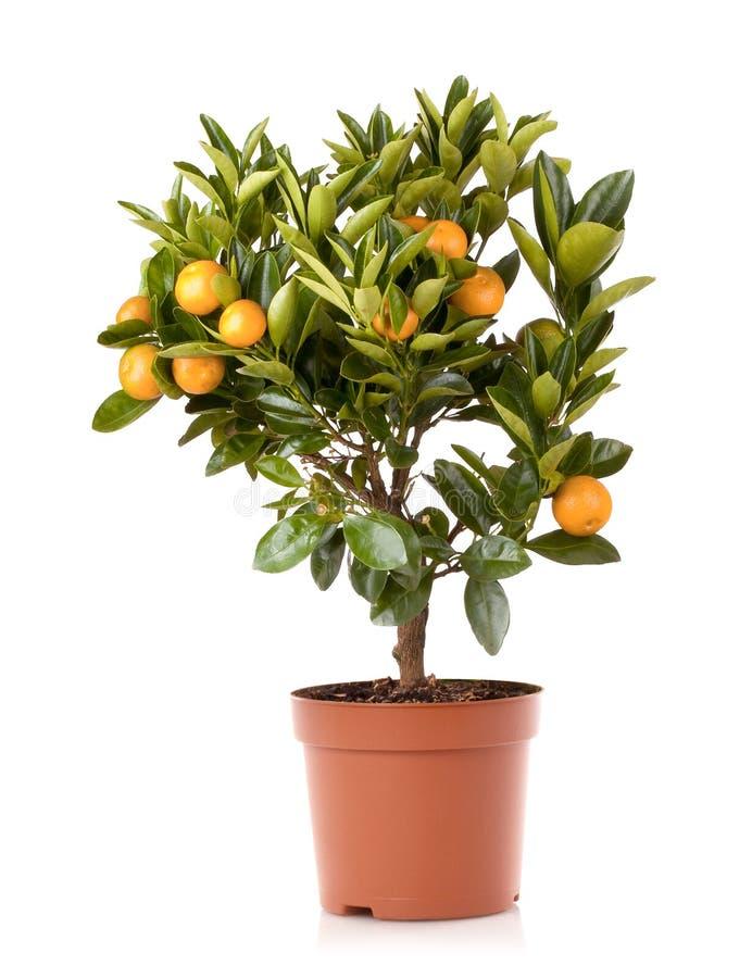 Mandarinezitrusfruchtanlage stockfotos
