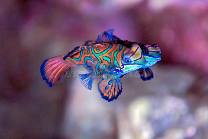 Mandarinfisch - Unterwasser stockfotos