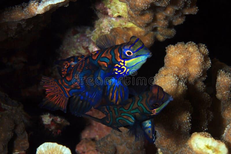 Mandarinfish夫妇 免版税库存照片