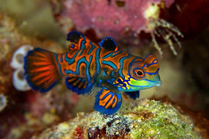 Mandarinfish或普通话dragonet Synchiropus splendidus是 库存照片