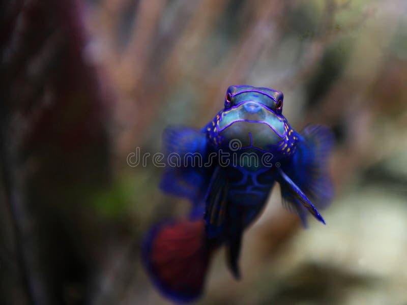mandarinfish στοκ εικόνα με δικαίωμα ελεύθερης χρήσης
