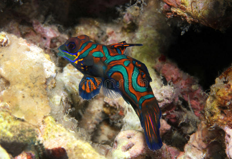 Mandarinfish photos stock