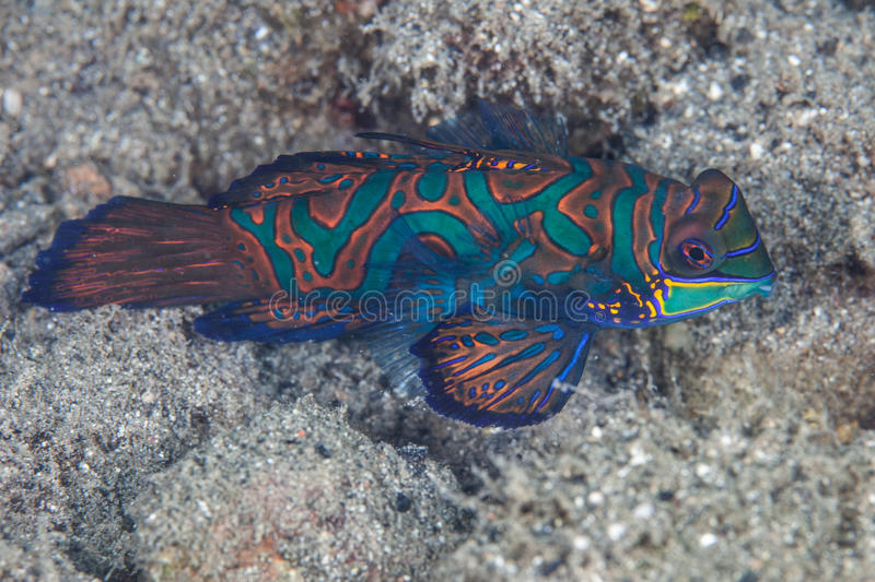 Mandarinfish image stock