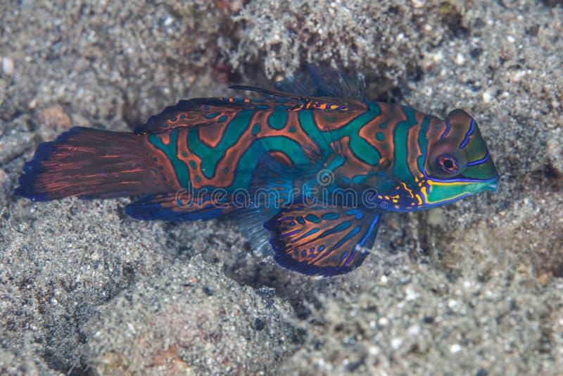 Mandarinfish stockbild