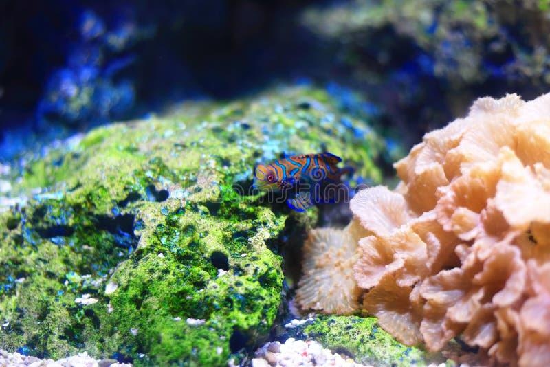 Mandarinfish 图库摄影