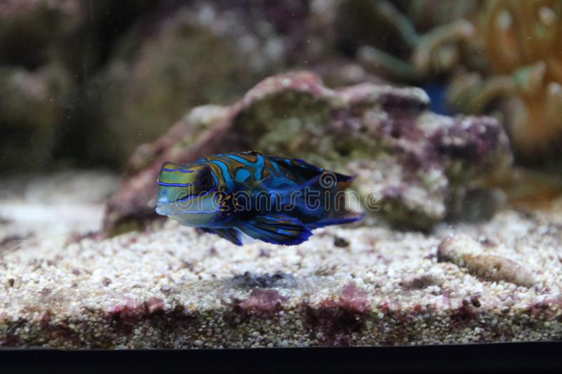 Mandarinfish in aquarium at the Rotterdam Blijdorp Zoo in the Netherlands royalty free stock photography