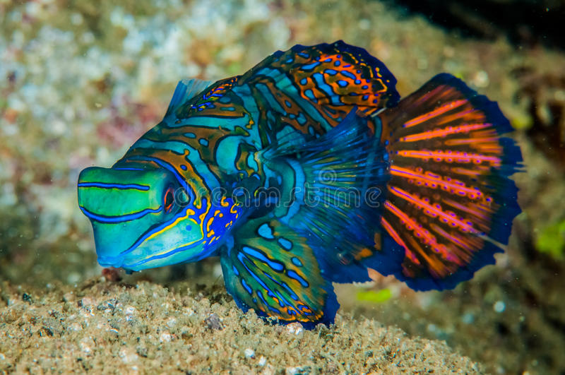 Mandarinfish de Dragonet dans Banda, photo sous-marine de l'Indonésie image stock