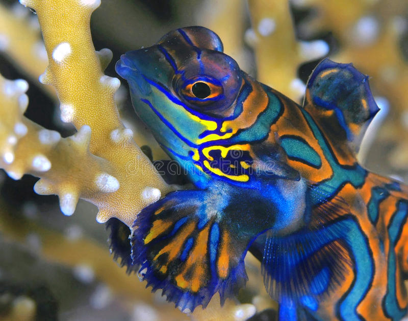 Mandarinfish mim foto de stock