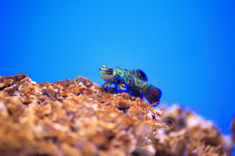 Mandarinfish. Are reef dwellers, preferring sheltered lagoons and inshore reefs. While they are slow-moving and fairly common within their range, they are not stock photography