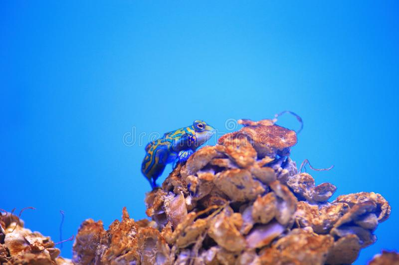 Mandarinfish. Are reef dwellers, preferring sheltered lagoons and inshore reefs. While they are slow-moving and fairly common within their range, they are not royalty free stock image