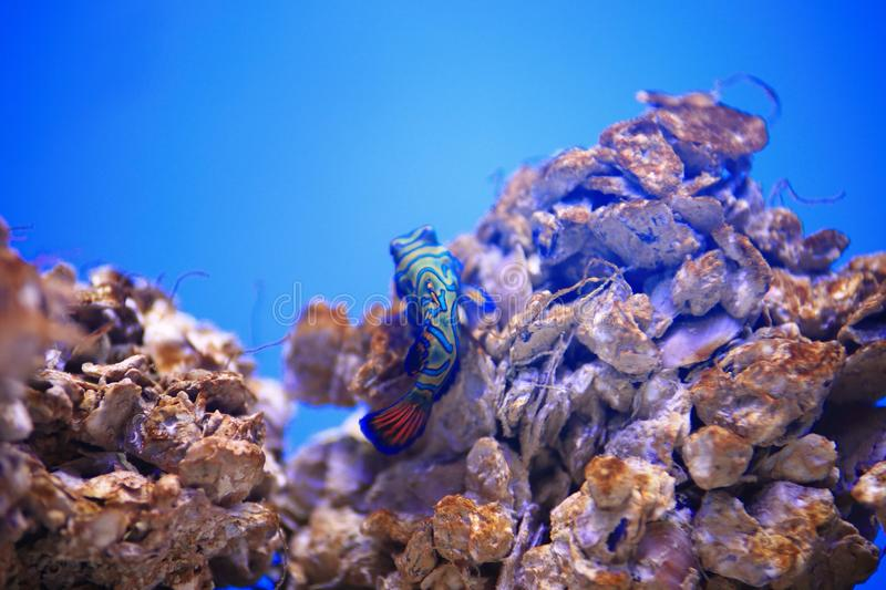 Mandarinfish. Are reef dwellers, preferring sheltered lagoons and inshore reefs. While they are slow-moving and fairly common within their range, they are not stock images