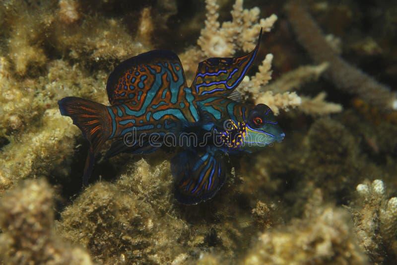 Download Mandarinfish stock image. Image of mandarin, dive, animal - 59472039
