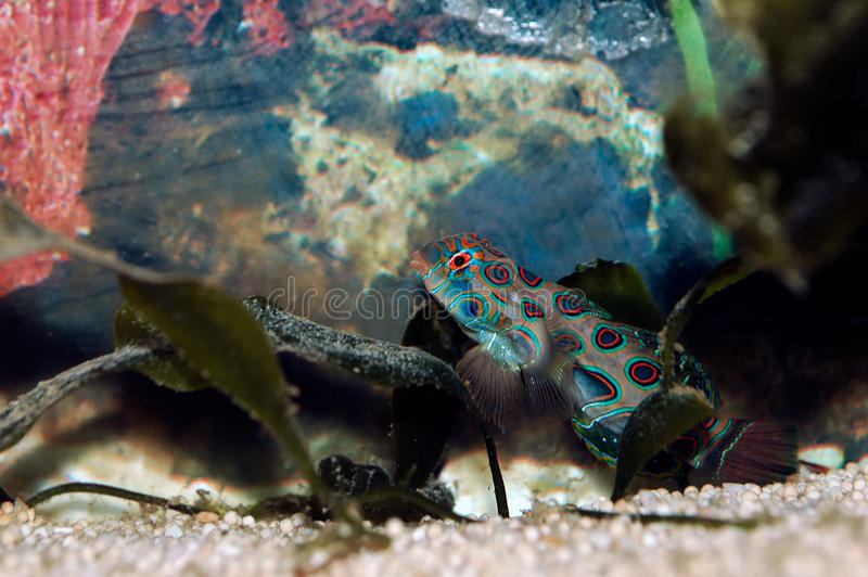 Mandarinfish (Synchiropus splendidus) 免版税库存照片