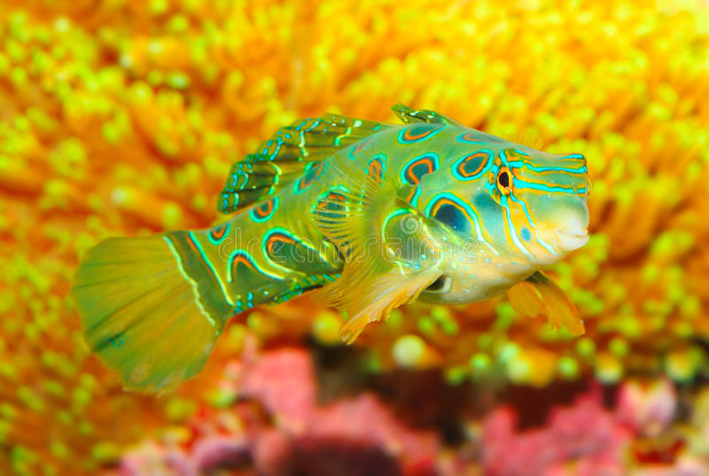 Mandarinfishen (den Synchiropus splendidusen). arkivbild