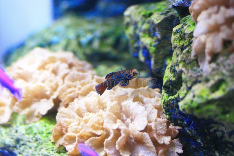 Mandarinfisk royaltyfria foton