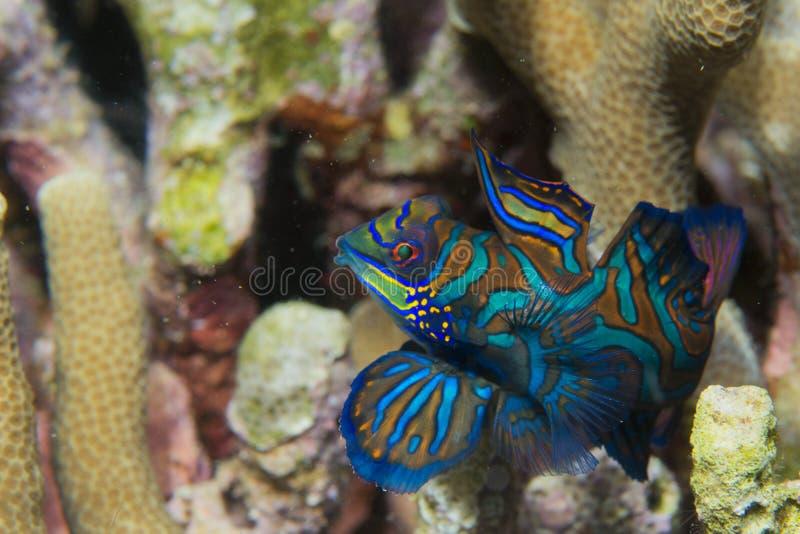 Mandarinfisk på hård korallbakgrund arkivfoto