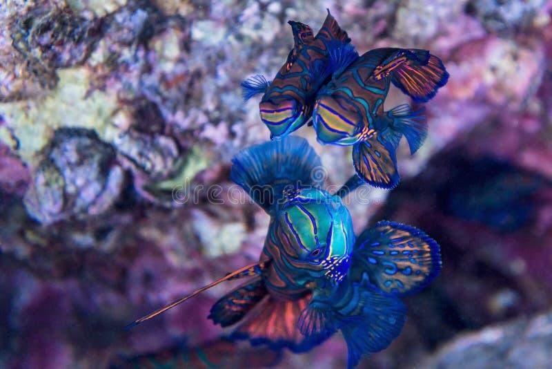 Mandarinfisk - under vatten royaltyfri fotografi