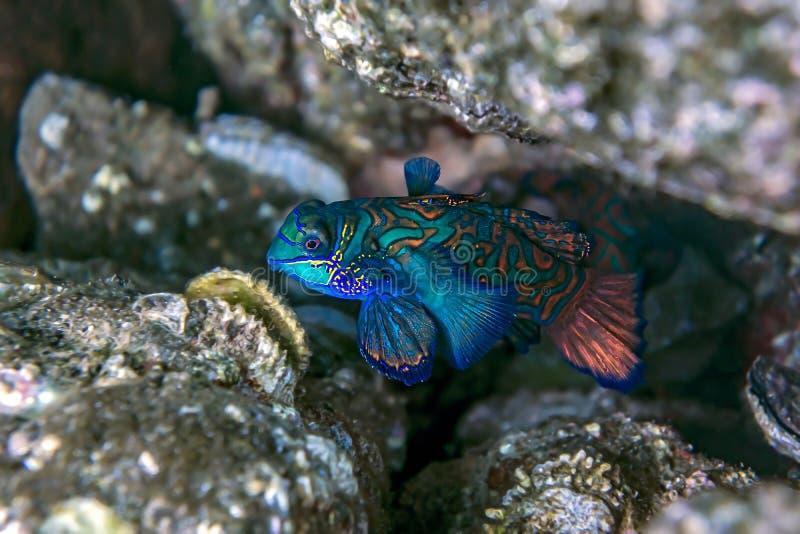 Mandarinfisk - under vatten arkivfoton