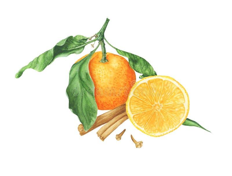 Mandarini con le foglie con le spezie, i rami dell'albero e la decorazione, pittura dell'acquerello royalty illustrazione gratis