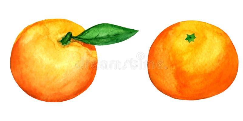 2 mandarini dell'acquerello di vettore isolati su bianco illustrazione vettoriale