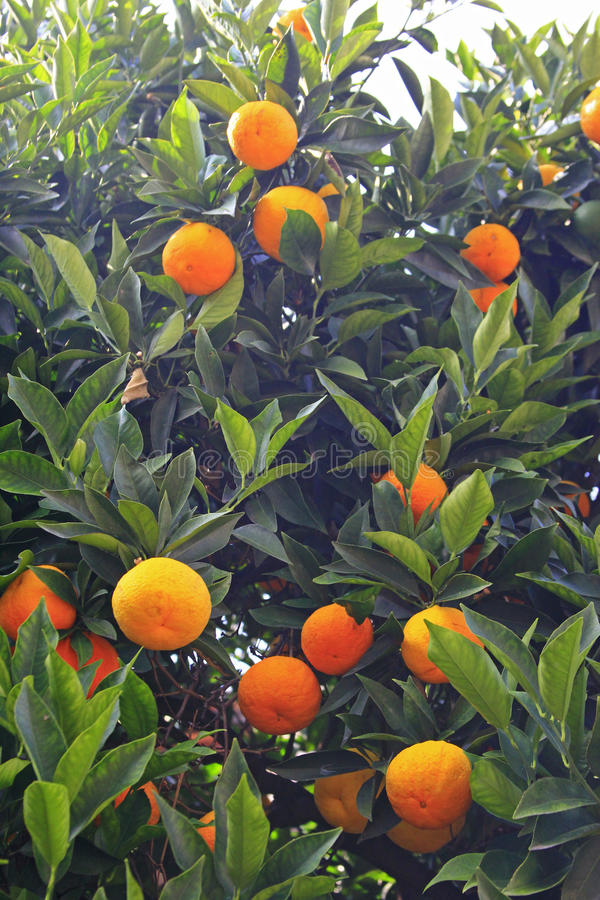 Mandarini maturi immagini stock
