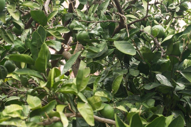 Mandarini non maturi verdi sull'albero immagini stock