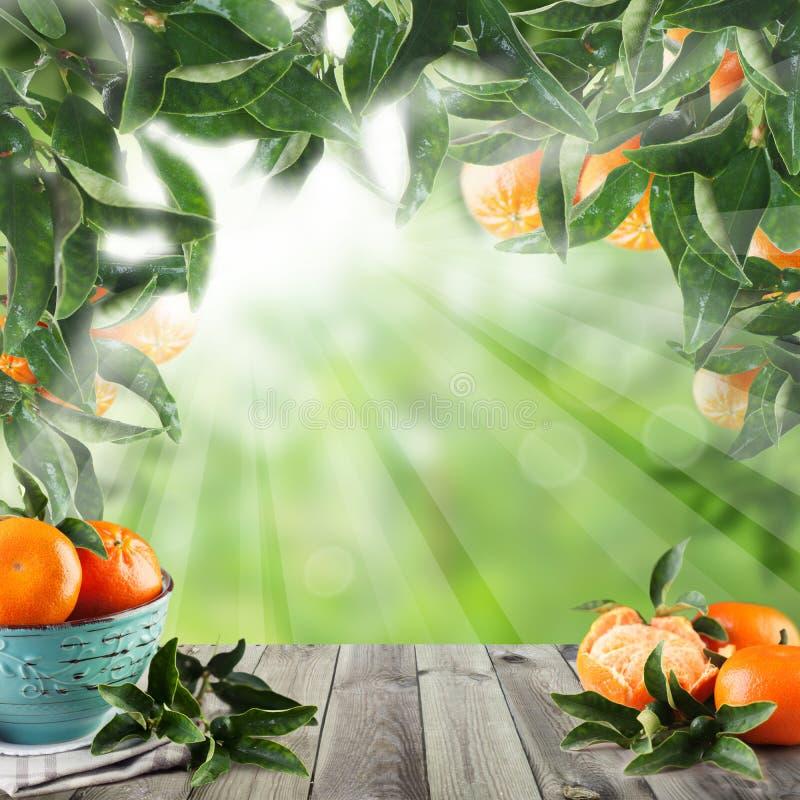 Mandarini sulla tavola di legno con luce solare Concetto verde del giardino royalty illustrazione gratis