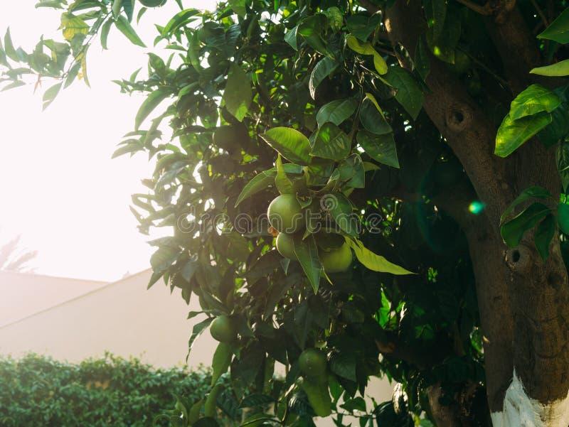 Mandarini verdi su un albero Mandarino non maturo Mandari montenegrino fotografia stock libera da diritti