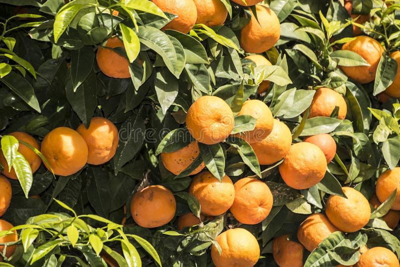 Mandarino con i frutti maturi Mandarino mandarini immagine stock libera da diritti