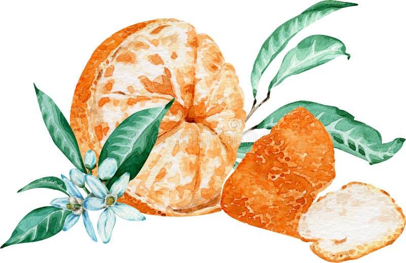 Mandarino sbucciato con i fiori e le foglie isolati su fondo bianco Illustrazione dell'acquerello fotografia stock
