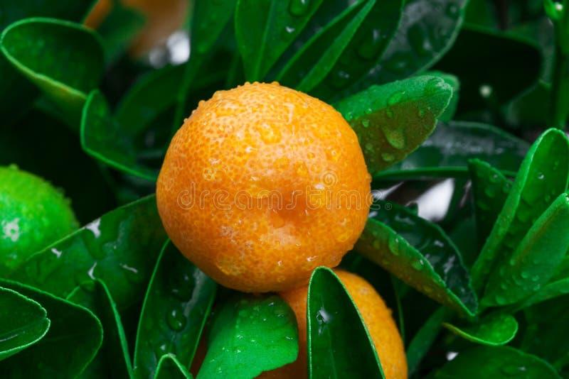 Mandarino su un albero fotografia stock