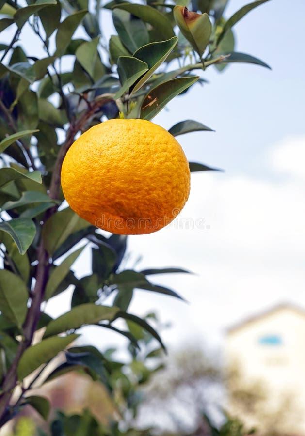 Mandarino su un ramo immagine stock
